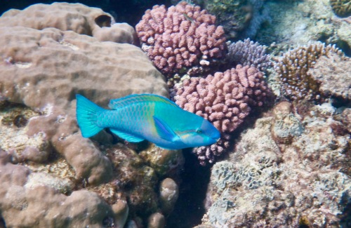 electric blue fish swimming at the great barrier reef, Australia