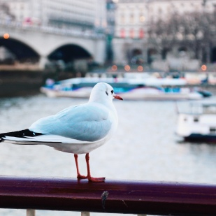 Southbank Seagull