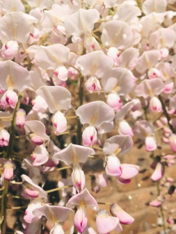 Beautiful pink and white wisteria